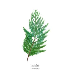 Cedar / Thuja Plicata