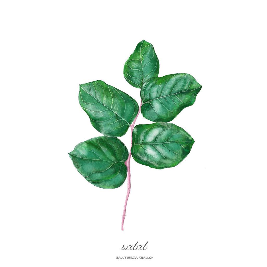 Salal / Gaultheria Shallon