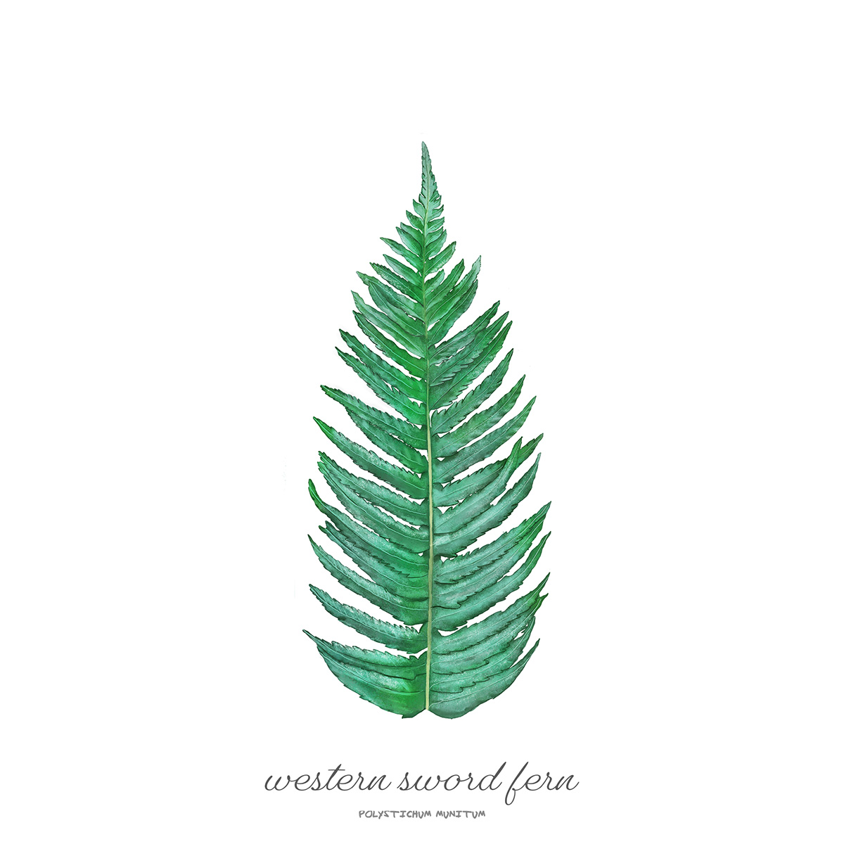 Western Sword Fern /  Polystichum munitum