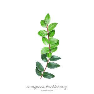Evergreen Huckleberry / Vaccinium Ovatum