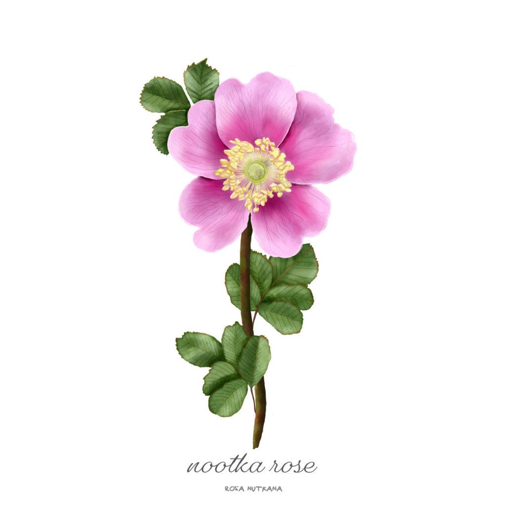 Nootka Rose / Rosa Nutkana